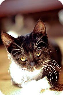 American Shorthair Kitten for adoption in Tampa, Florida - BooBoo
