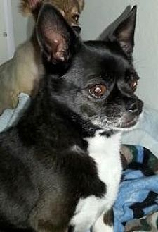 Boston Terrier/Chihuahua Mix Dog for adoption in Newell, Iowa - Little Black Hawk