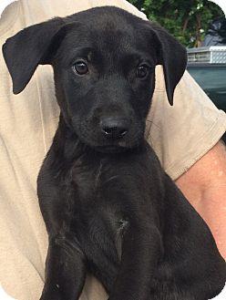 German Shepherd Dog Mix Puppy for adoption in Augusta, Maine - Grover