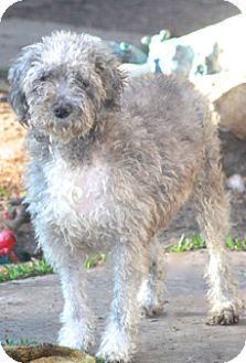 Poodle (Miniature)/Schnauzer (Miniature) Mix Dog for adoption in Norwalk, Connecticut - Prudence - adoption pending