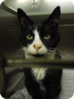 Domestic Shorthair Cat for adoption in Marlinton, West Virginia - Tia