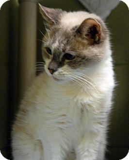 Siamese Cat for adoption in Newland, North Carolina - Prissy
