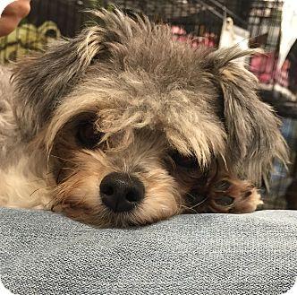 Maltese/Yorkie, Yorkshire Terrier Mix Dog for adoption in geneva, Florida - Cory