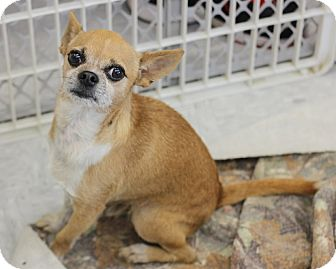 Chihuahua Dog for adoption in Concord, North Carolina - Honcho