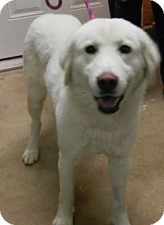 Great Pyrenees/Kuvasz Mix Dog for adoption in Granite Bay, California - Holly