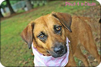 Labrador Retriever/Terrier (Unknown Type, Medium) Mix Dog for adoption in Paducah, Kentucky - Baby