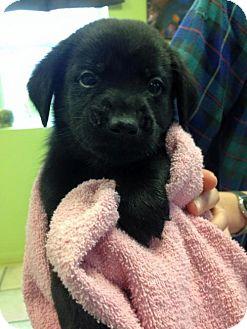 Labrador Retriever Puppy for adoption in Newburgh, Indiana - Lab X Puppies