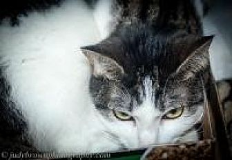 Domestic Shorthair Cat for adoption in Wellesley, Massachusetts - Tiger Lily