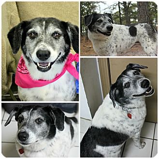 Border Collie/Australian Cattle Dog Mix Dog for adoption in Forked River, New Jersey - Tupelo Honey