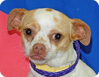 Chihuahua Mix Dog for adoption in Spokane, Washington - Chiquita