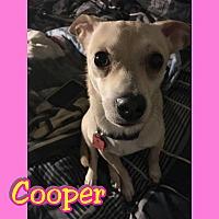 Adopt A Pet :: Cooper - Mesa, AZ