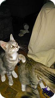 Domestic Shorthair Cat for adoption in Parkton, North Carolina - Mesha