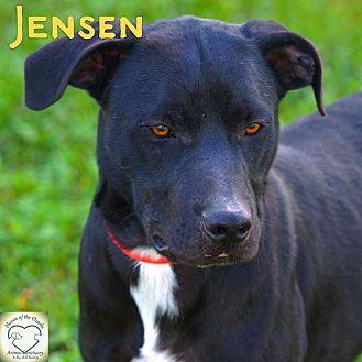 Border Collie/Pit Bull Terrier Mix Dog for adoption in Washburn, Missouri - Jensen