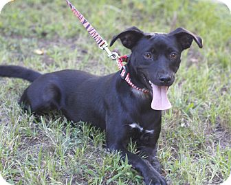 Labrador Retriever/Terrier (Unknown Type, Small) Mix Dog for adoption in Mayflower, Arkansas - Happy