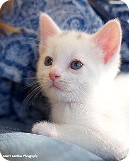 Domestic Shorthair Kitten for adoption in Chattanooga, Tennessee - Springfield