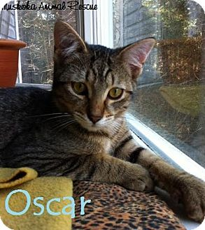 Domestic Shorthair Kitten for adoption in Huntsville, Ontario - Oscar - Cutie!