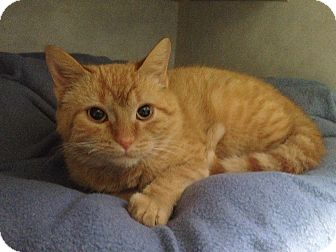 Domestic Shorthair Kitten for adoption in Cashiers, North Carolina - Rascal
