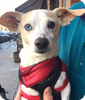 Terrier (Unknown Type, Small)/Dachshund Mix Dog for adoption in Boulder, Colorado - Radar