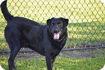 Labrador Retriever Mix Dog for adoption in San Francisco, California - Asher