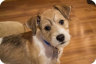Jack Russell Terrier/Terrier (Unknown Type, Medium) Mix Puppy for adoption in Cleveland, Oklahoma - Fritz