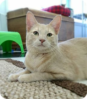 Domestic Shorthair Cat for adoption in Austintown, Ohio - Buffy