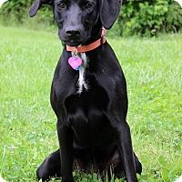 Adopt A Pet :: Harper - Waldorf, MD