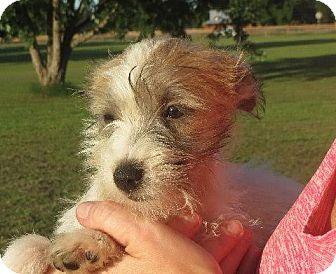 Schnauzer (Miniature)/Shih Tzu Mix Puppy for adoption in Greenville, Rhode Island - Winnie