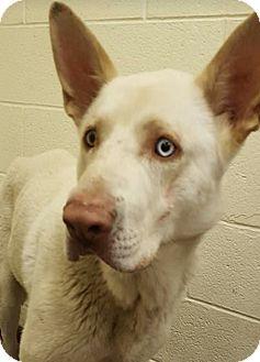German Shepherd Dog/Husky Mix Dog for adoption in Taylor, Michigan - Bishop