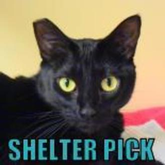 Domestic Shorthair/Domestic Shorthair Mix Cat for adoption in Eugene, Oregon - Rozlyn