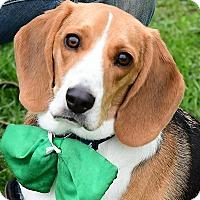 Adopt A Pet :: Dozer - Huntley, IL