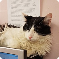 Domestic Mediumhair Cat for adoption in Indianapolis, Indiana - Simon