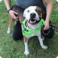 Adopt A Pet :: Breaker - McCormick, SC