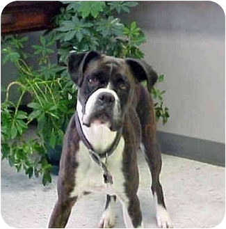 Boxer Dog for adoption in HARRISONVILLE, Missouri - CHEVELLE