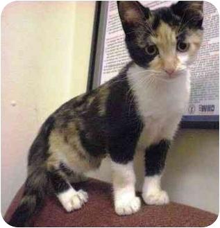 Domestic Shorthair Kitten for adoption in Irvine, California - Fergie
