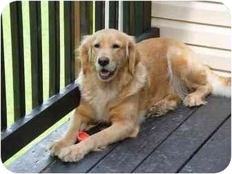 Golden Retriever Dog for adoption in Wilmington, Delaware - Sadie 2