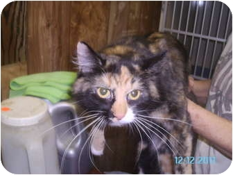 Domestic Longhair Cat for adoption in Tipton, Iowa - Peggy Sue