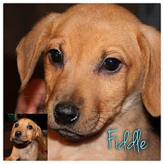 Dachshund/Beagle Mix Puppy for adoption in Garden City, Michigan - Fiddle