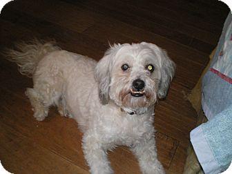 Pekingese/Maltese Mix Dog for adoption in Apex, North Carolina - Matthew