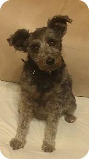 Schnauzer (Miniature) Dog for adoption in Chandler, Arizona - Venice