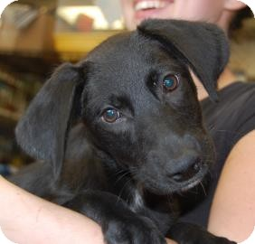 Labrador Retriever/Shepherd (Unknown Type) Mix Puppy for adoption in Brooklyn, New York - Gemma