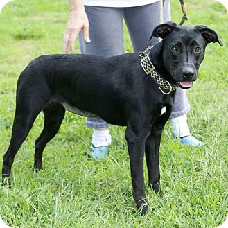 Labrador Retriever/Greyhound Mix Dog for adoption in New Martinsville, West Virginia - Daisy