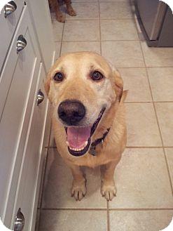 Labrador Retriever Dog for adoption in Roanoke, Virginia - Zach