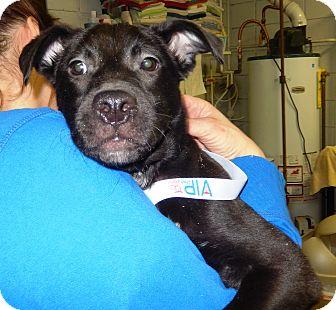 Labrador Retriever Mix Dog for adoption in Midland, Michigan - Annie