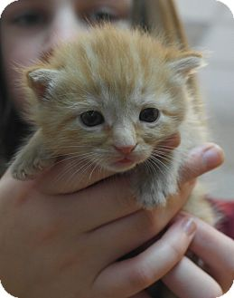 American Shorthair Kitten for adoption in Seneca, South Carolina - Thomas O'Malley $95