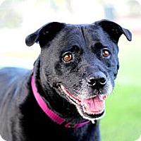 Adopt A Pet :: Java LOVES KIDS, HOUSETRAINED! - Burbank, CA