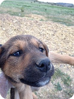Shepherd (Unknown Type) Mix Puppy for adoption in Westminster, Colorado - Coco