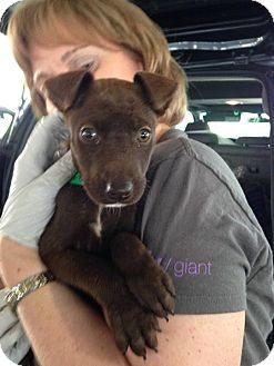 Labrador Retriever Mix Puppy for adoption in Charlestown, Rhode Island - Faith