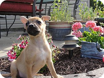 Chihuahua Mix Puppy for adoption in Woodlyn, Pennsylvania - Lightning
