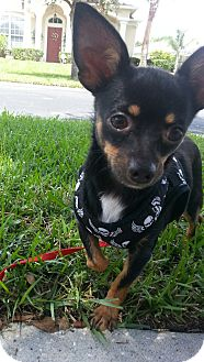Chihuahua/Miniature Pinscher Mix Dog for adoption in Oviedo, Florida - Benny