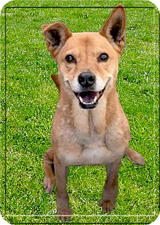 Chow Chow/Australian Cattle Dog Mix Dog for adoption in Sacramento, California - Luna therapy dog